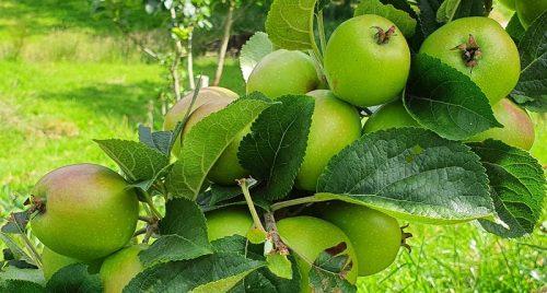 Camelot Cider Apples