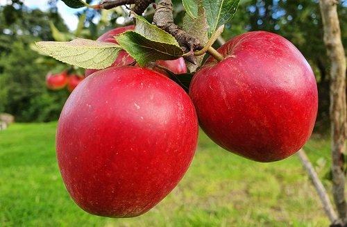 Katy Apples